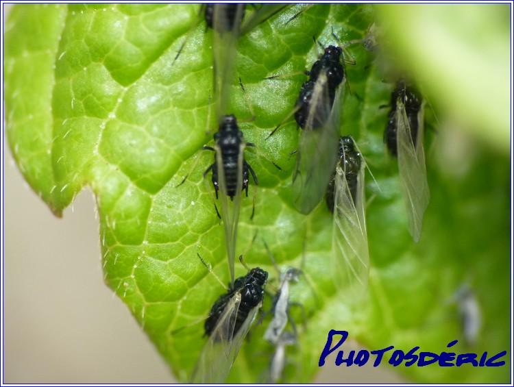 Insectes dans Macro insectes p1010215